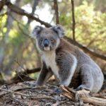 コアラ オーストラリア