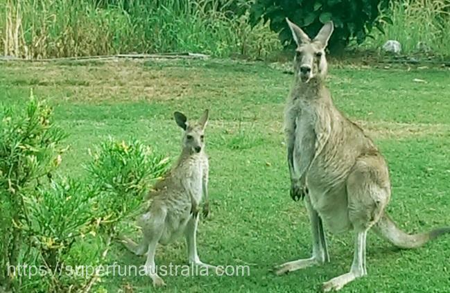 カンガルー オーストラリア