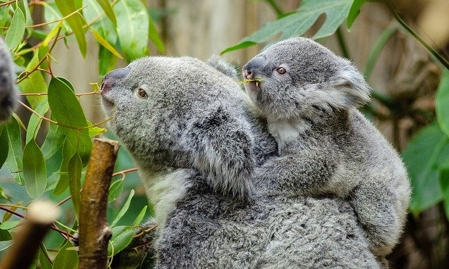 コアラ 生息地