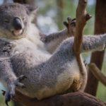 コアラ 抱っこ